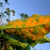 Coffee rust could become unmanageable, agronomists warn