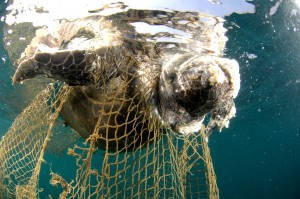 dead sea turtle in fishing net