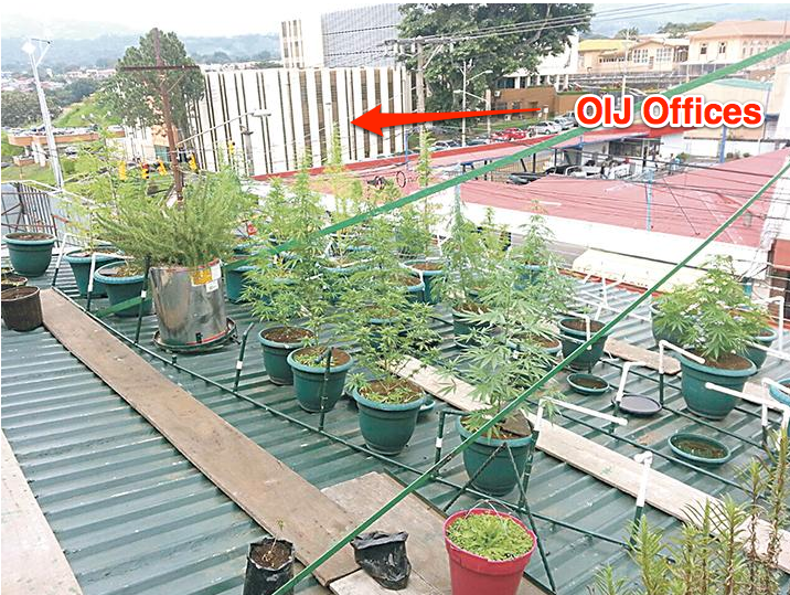 Cerdas had been found to be growing marijuana multiple times on the roof of his home just 25 meters from the offices of the OIJ and the Alajuela criminal court.  (OIJ photo with added illustration)